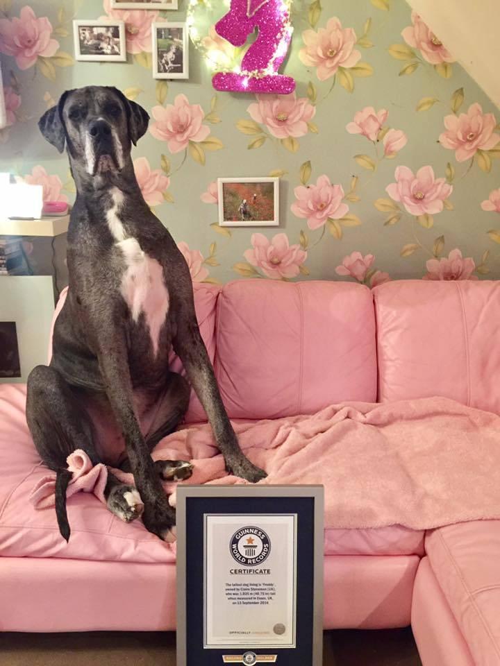 Знакомьтесь, это Фредди - самый большой пес в мире