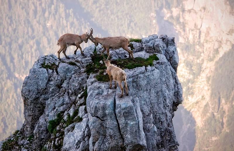 20 фото, которые доказывают, что горные козлы — просто чумовые создания!