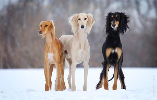 ТОП-10 самых редких собак в мире: необычные домашние питомцы. Характеристика и фото самых малочисленных и удивительных пород