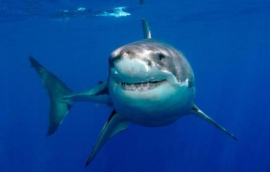 Польза акульего жира: уникальный состав. Кому противопоказано употреблять?