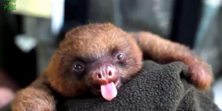 Создавая ленивцев, природа явно слушала релакс-музыку ипопивала коктейль, поэтому иполучились такие неторопливые красавчики