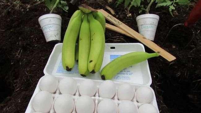 Что произойдёт, если закопать вместе кожуру банана и яичную скорлупу