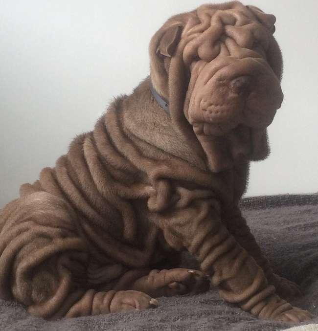 10милейших пород собак, при взгляде накоторые так ихочется протянуть: -Ути-пути!-