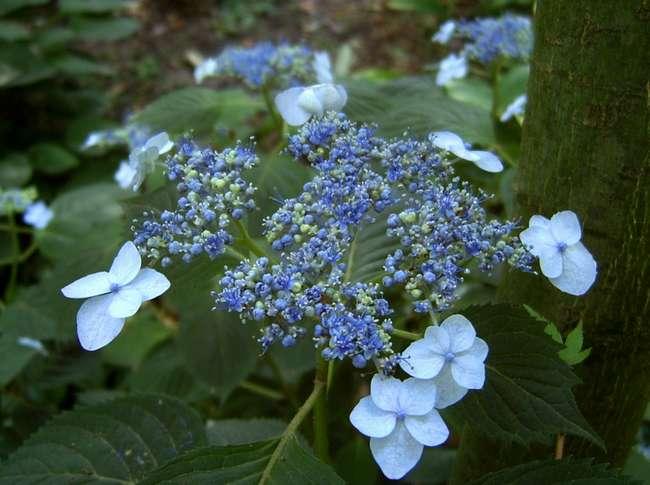 Гортензия пильчатая Блюберд: описание с фото, разведение, выращивание и особенности ухода