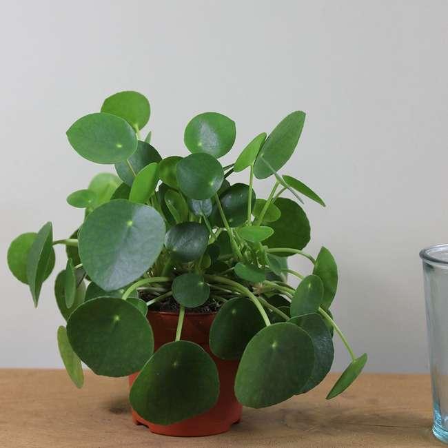 8 комнатных растений, которые принесут удачу и богатство в 2019 году
