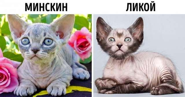 8пород кошек, которые появились запоследние годы, амыинезнали