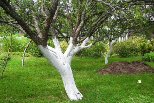 Белить или не белить: разбираемся, стоит ли наносить побелку на деревья нынешней весной