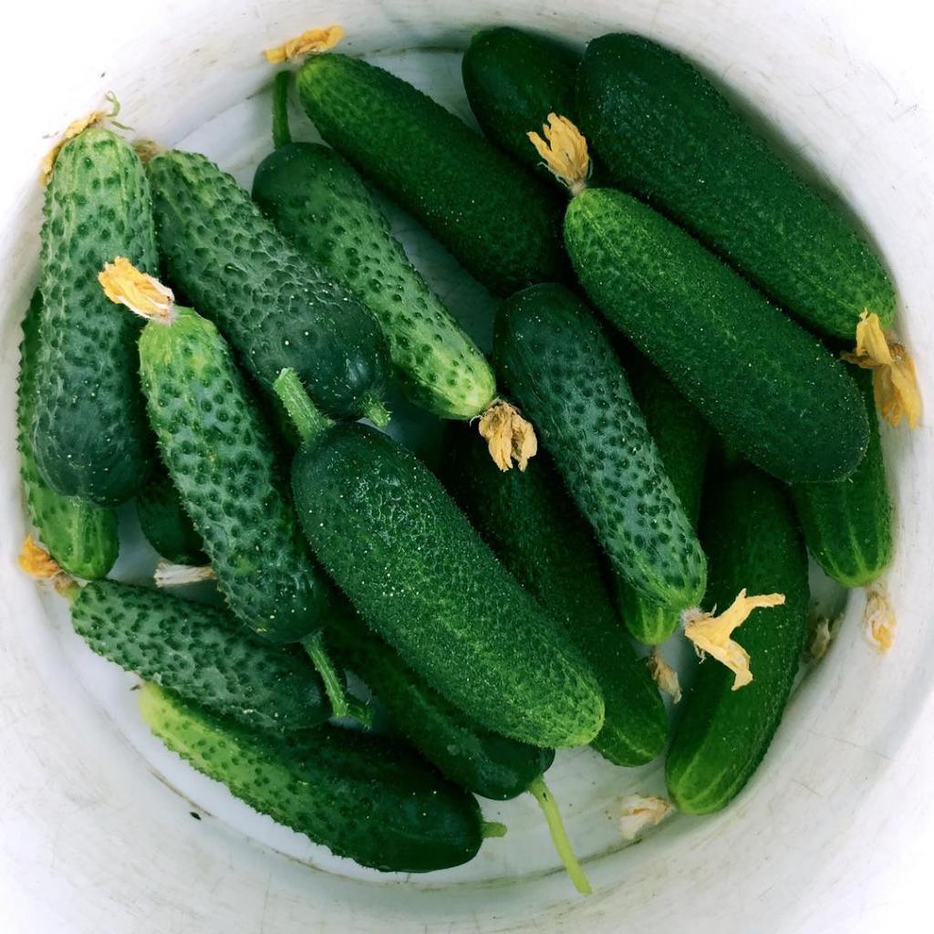 Аграрии поделились секретами большого урожая огурцов: секрет в удобрении