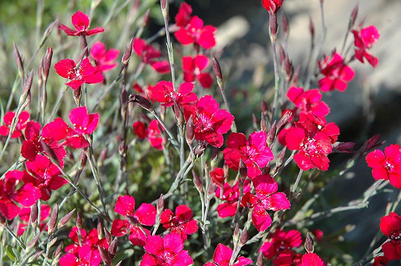 Сорта гвоздик: описание, фото, выращивание из семян
