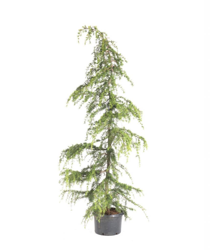 Хвойные домашние растения: описание, уход