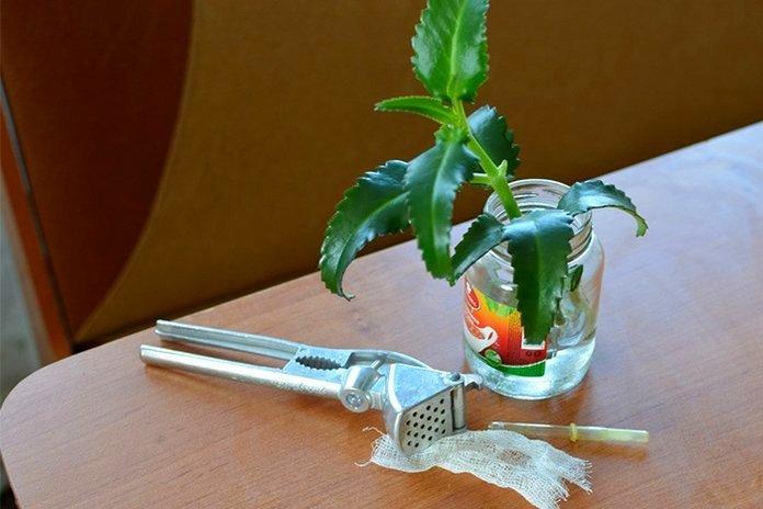 Настойка каланхоэ на водке: применение, рецепт приготовления. Цветок каланхоэ: свойства, описание, фото
