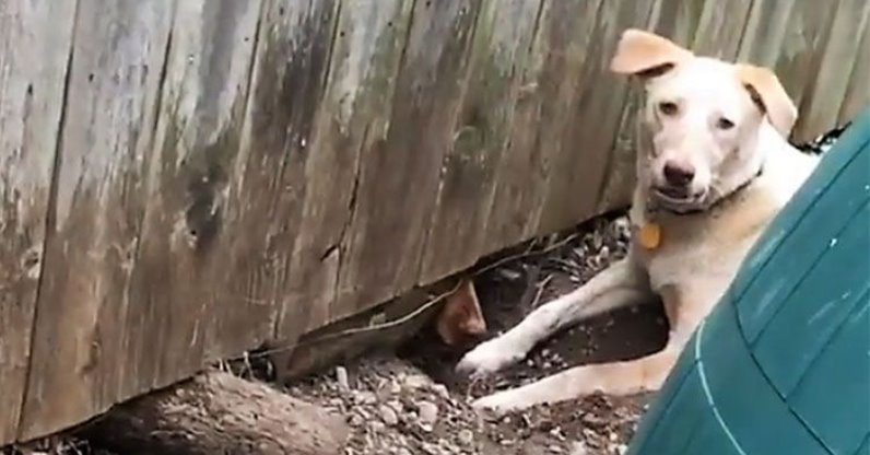 Две соседские собаки каждый день рыли подкоп, чтобы встретиться. Хозяева придумали, как им помочь